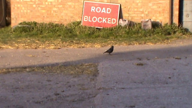 Corvid next to road block sign
