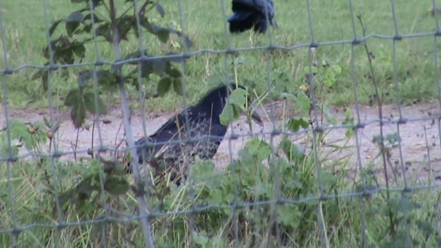 Corvids behind fencing wire